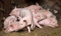 Afrikansk svinpest i Mongoliet
