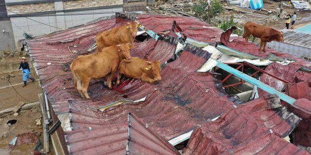 Kor sökte skydd på tak – undsattes med kran