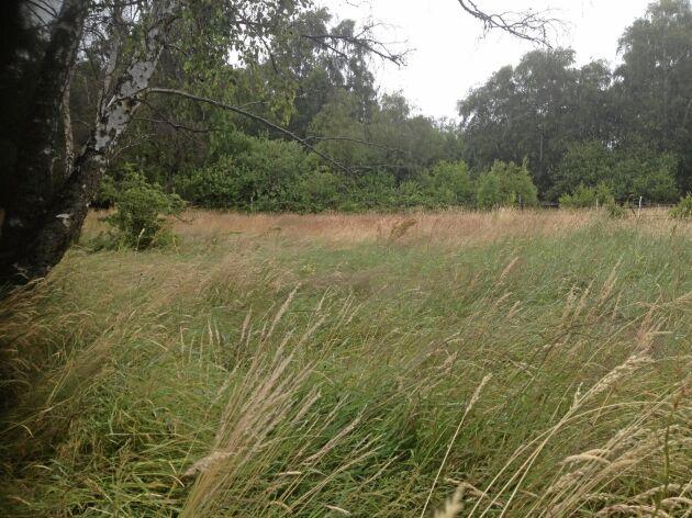 Det kan redan nu vara läge att planera även inför vintern, om man vill utnyttja vinterbete i foderstaten. För ett sådant här förvuxet gräs bildas mycket cellulosa och lignin som gör att näringsinnehållet sjunker och det i sin tur minskar värdet av gräset till vintern.