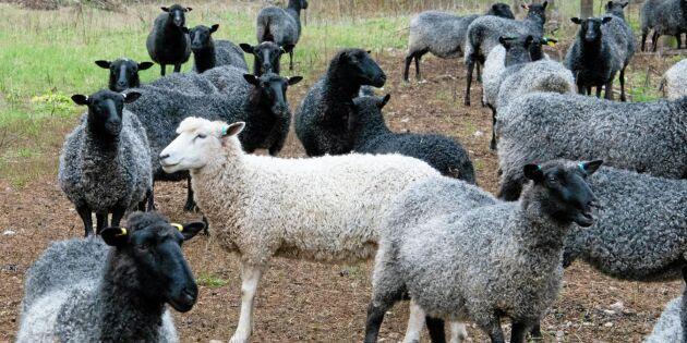 Därför får det svarta fåret sin färg