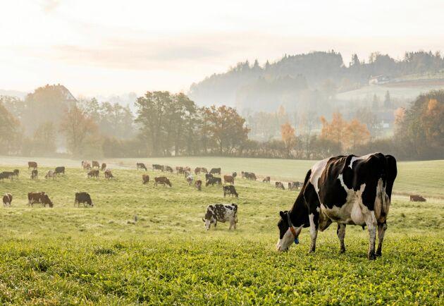 Kossorna betar på gröna gräsmarker – än så länge.