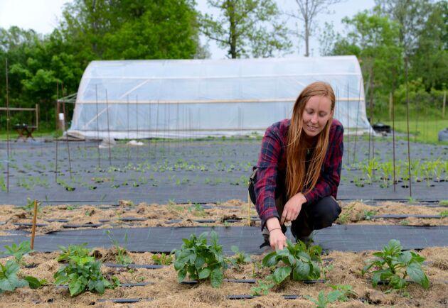 Lovisa Wendt driver Fiddekulla trädgård tillsammans med sin mor. Här toppar hon dahliaplantor, som under sensommaren producerar en riklig mängd stora blommor till buketter.