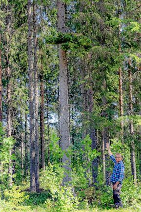 Bosse pekar ut en häxkvast som han hittat på en gran utanför Täfteå.