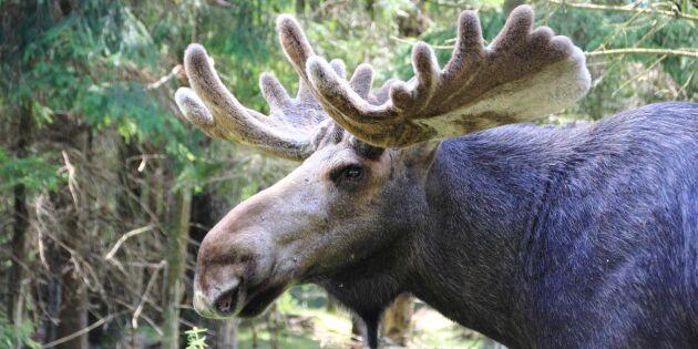 Professor dömer ut Skogsstyrelsens älgräkning