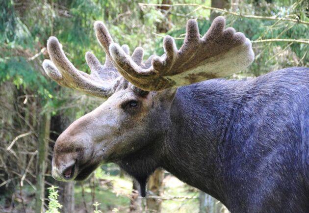 Nu framförs kritik mot Skogsstyrelsens rapport om det ökade älgbeståndet i brandskogarna i Västmanland.