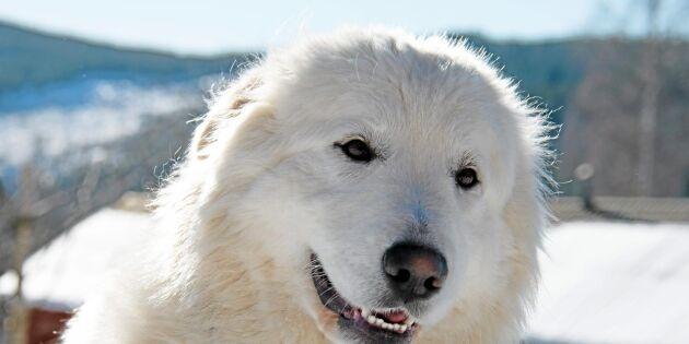 Boskapsvaktande hundar håller vargen borta