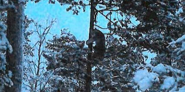 Låga straff försvårar jaktbrottsutredning