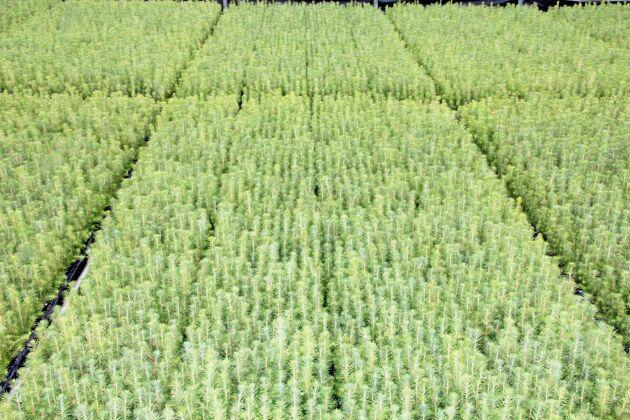 Täckrotsplantor av gran.