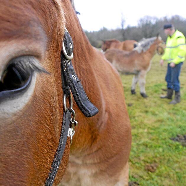 Ardennerhästarna i Misterhult är lugna och sociala.