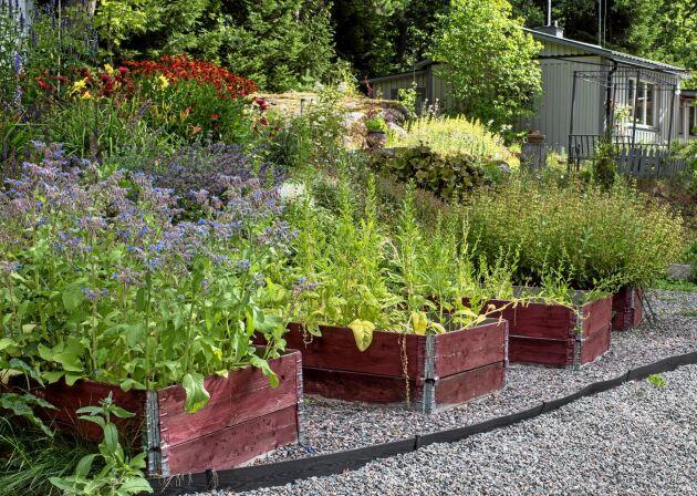 Pallkragar med grusgångar emellan är något som kännetecknar Abhay och Manus trädgård. I den vänstra odlas gurkört, medan de i mitten planterat nyzeeländsk spenat och koriander.