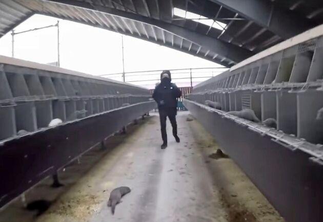 När aktivisterna lämnar minkstallet syns hur grindarna till burarna står öppna.