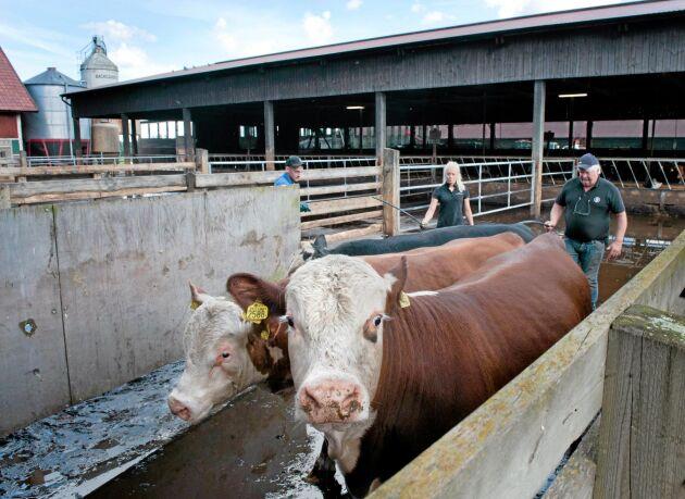 Sten Catoni och hans familj ägnar sig i första hand åt inköp och uppfödning av mjölkrastjurar.