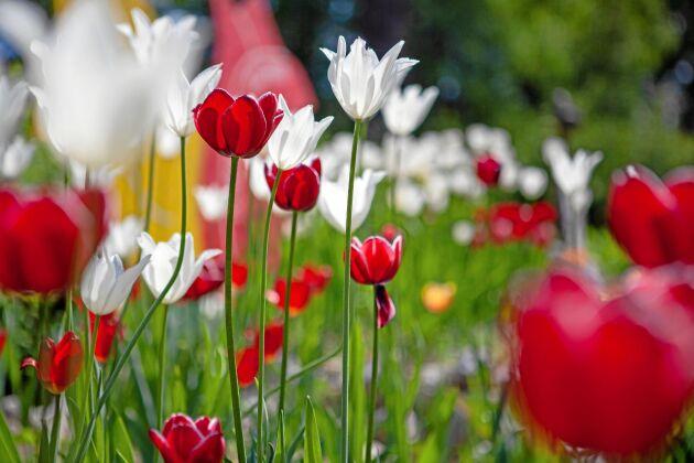Tulpanerna trivs i Backsjö trots d.et nordliga läget