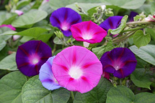 Purpurvinda i en mix av olika nyanser i rosa och purpur.