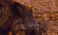 Nya fall av afrikansk svinpest – två personer gripna