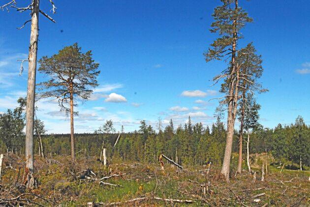 En avverkning av gammal skog som Sveaskog gjorde i Gourpaliden i Norrbotten kritiseras hårt av naturskyddarna med Björn Mildh i spetsen. Vid en inventering har naturvårdarna hittat naturvärden som visar att skogen höll höga värden i nyckelbiotopklass – trots det avverkade bolaget skogen.