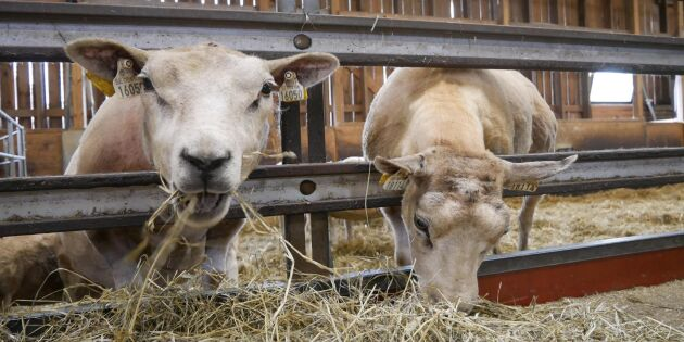 Optimism inom svensk lammnäring