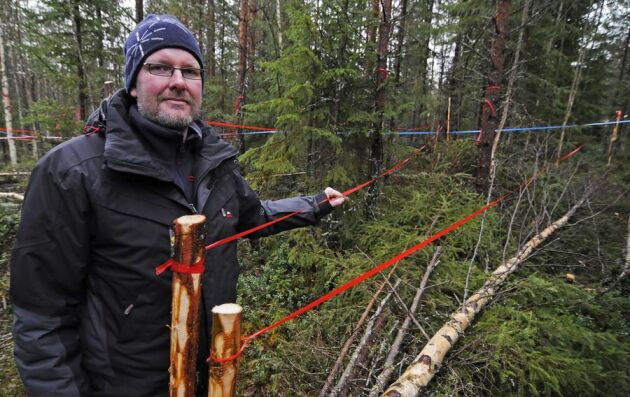 Dan Bergströms forskning vid SLU har gått ut på att utveckla en korridorgallring i täta oröjda ungskogar. Färgbanden visar olika röjda korridorer som öppnar upp för huvudstammarna. Utfallet i försöket blev imponerande 124 fastkubikmeter biomassa per hekta