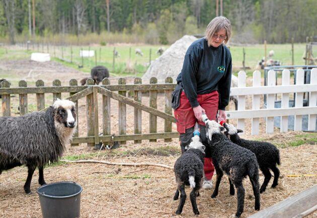 Några av lammen behöver flaskmatas och så fort Ann Andersson kommer hem från sitt heltidsjobb är det tre hungriga lamm som skriker på henne.