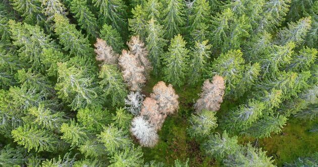 Granar som skadats av granbarkborrar.