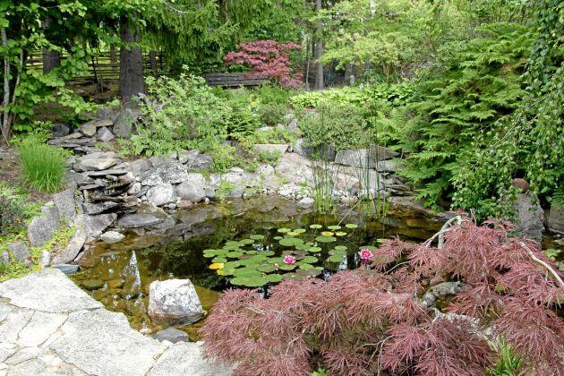 Rödbladiga japanska lönnar och en rosaröd näckros framträder mot den lummiga grönskan kring dammen. I förgrunden står en japansk lönn 'Garnet'.