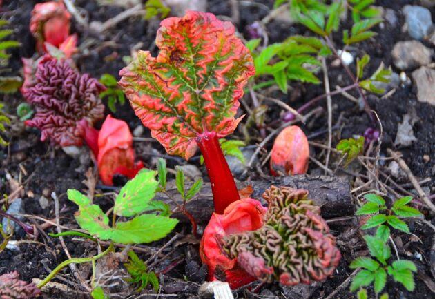 Rabarber var en populär gröda att odla vid de norska fyrarna.