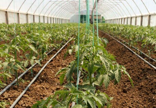 8 hektar växthus för en av Sveriges största tomatodlingar planeras på jordbruksmarken vid Väsby Fälandsväg i Höganäs.