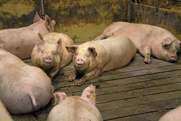 Målsättningen på Tandergård är att suggorna ska ha sex grisningar innan de slaktas ut.