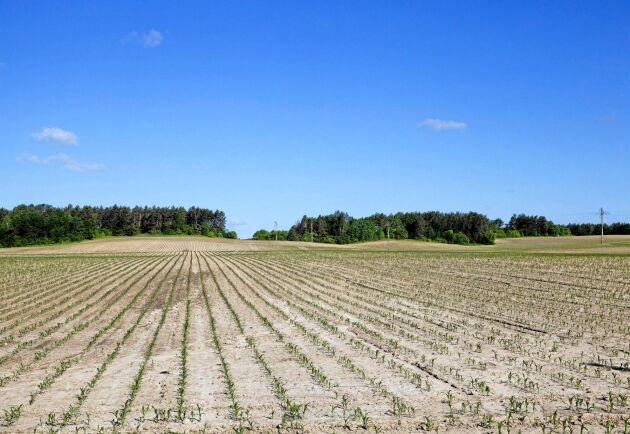 Torkan slår hårt mot lantbrukföretagens ekonomi. Arkivbild.