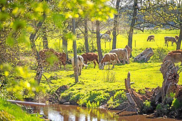 På gården produceras kravmärkt nötkött.