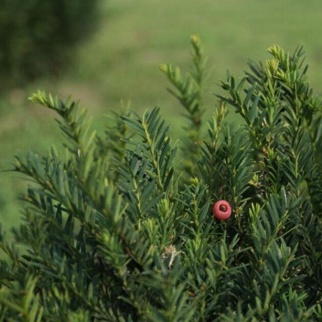 Idegran som är vanlig i svenska trädgårdar och parker, är mycket giftig för häst.