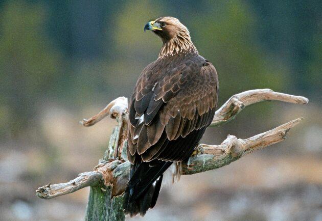 Den positiva utvecklingen för kungsörnen i norra Sverige har vänt. Tågdöden är den största dödsorsaken för fågeln.
