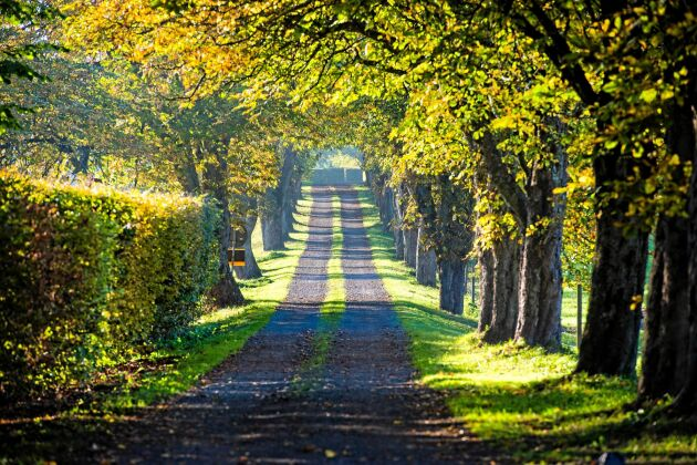 Bildskön väg till gården genom en knotig trädallé.