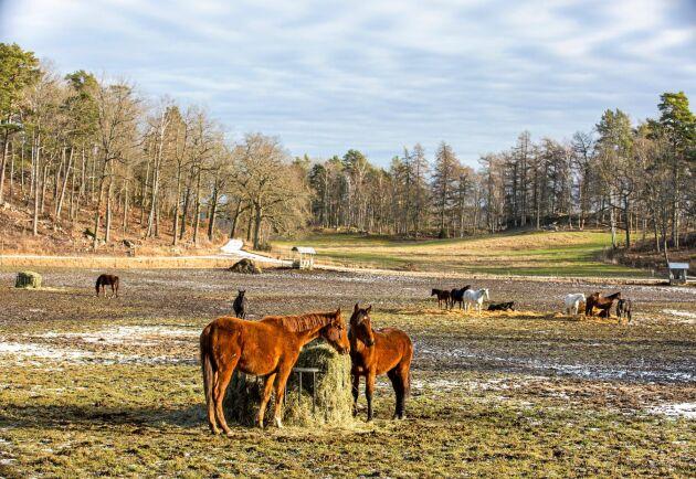 Hästarna på Stuteri Nådhammar delas in i tre olika lösdrifter utifrån kön och ålder. Hästarna som är i träning står däremot uppstallade.