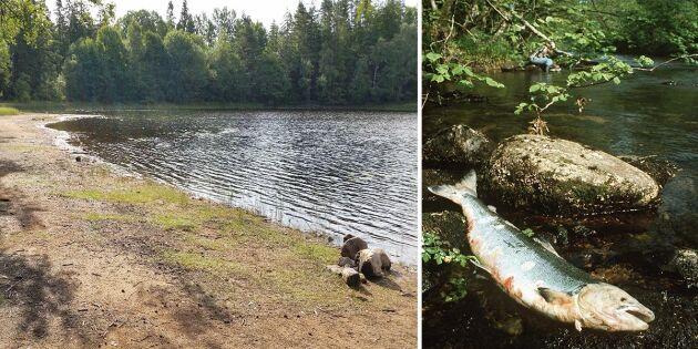 Efter sommarens torka: Höstregnet hotar lax och öring