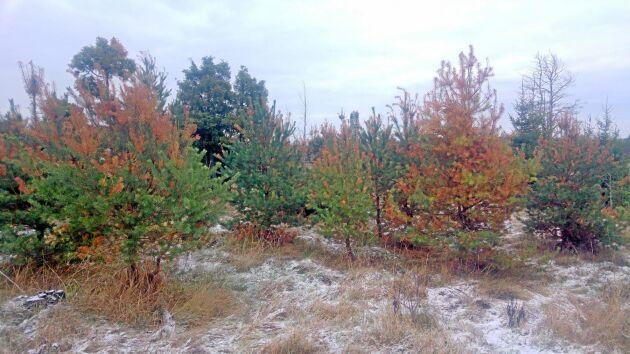 I skogarna runt Arlandatallarna är hälften av tallarna smittade och Diplodiasvampen har spridit sig norr om Uppsala till Tierp och söderut mot Stockholm.