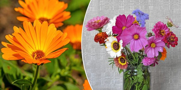 Så ettåriga blommor till rabatten – som passar utmärkt i bukett