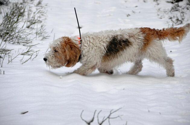 Jaktproven för långsamtdrivande hundar skiljer sig åt beroende på ras. På bilden en basset i drevlöpan.
