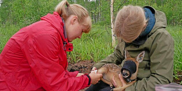 Rådjurskid hjälper forskare förstå fästingar