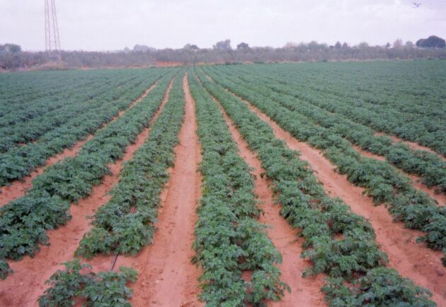 Bladmögel på potatis orsakas av mögelsvampen Phytopthora infestens angriper både blad och stjälkar och orsakar brunröta på knölarna.