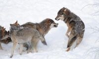 Tre vargar skjutna i Hedmark