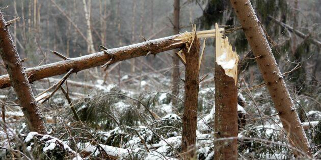 Stormen verkar inte ha orsakat stora skogsskador