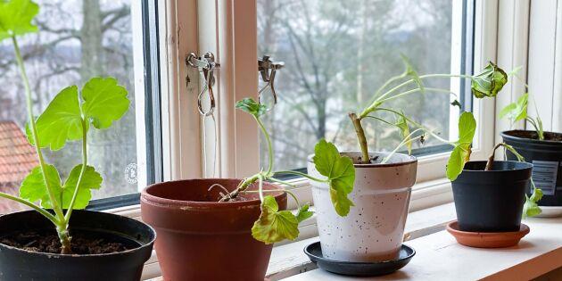 Väck liv i pelargonen efter vintervilan – så gör du med ranglet i fönstret
