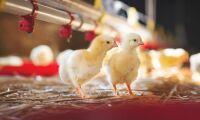 Svensk kyckling gäller för Scandic