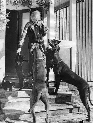 Signe Björnbergs nio hundar flockas när det är middagsdags i stugan i Manickhöjden 1951. Sjöberg bildbyrå
