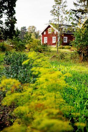 I sluttningen ned från huset ned mot sjön trivs både odlade och vilda växter.
