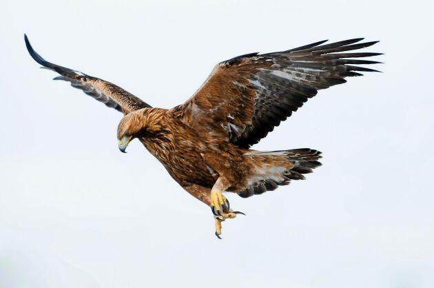 När man flyger på hög höjd är det användbart att vara skarpsynt. Rovfåglar som kungsörnen har utvecklat djurvärldens kanske bästa syn.