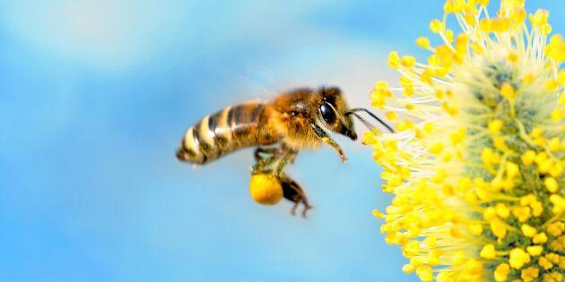 Pollenskola: Så visar binas byxor vad som blommar nu