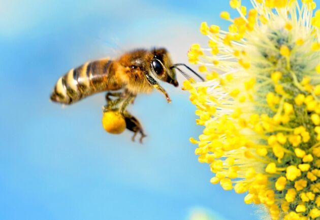 Bi med sina bästa, ljusgula vårbyxor. Utan pollen från sälgen lever samhället farligt.