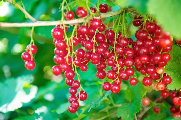 Syrliga, röda vinbär passar fint med värmande ingefära.